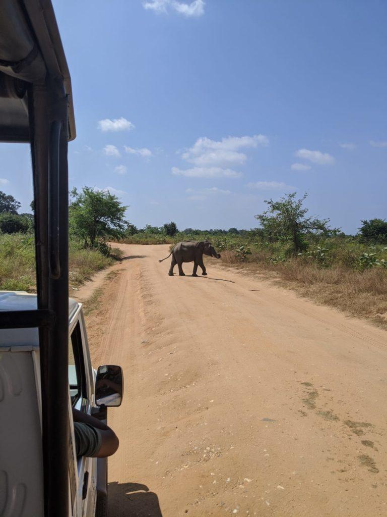baby elephant on the road in sri lanka