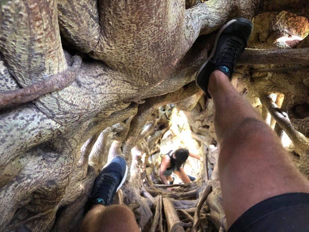 ficus tree monteverde