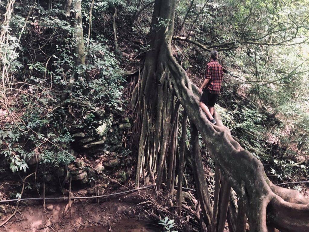 giant root tree in monteverde costa rica